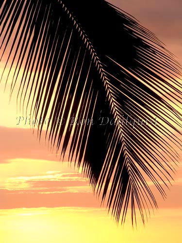 Silhouette of palm frond at sunset, Maui, Hawaii