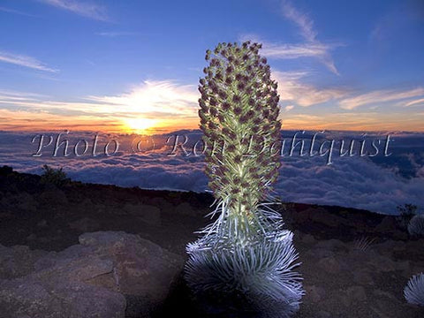 Silversword at sunset, Haleakala, Maui, Hawaii - Hawaiipictures.com