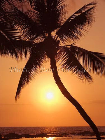 Silhouette of palm tree at sunset. Maui, Hawaii Picture
