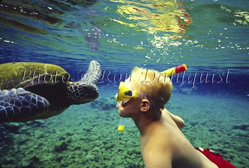 Snorkeling with Green Sea Turtle, Hawaii Picture