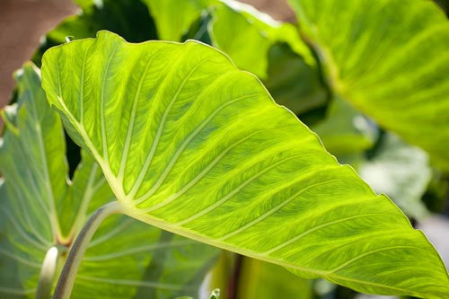 Close-up of Taro leaf, Hawaii Picture