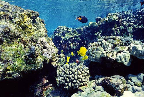 Underwater view of fish and coral at La Perouse, Maui, Hawaii