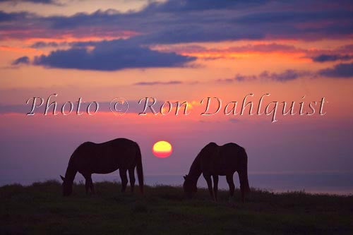 Upcountry Maui sunset with horses grazing in foreground, Hawaii