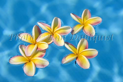 Yellow Plumerias floating in turquoise, pool water. Hawaii