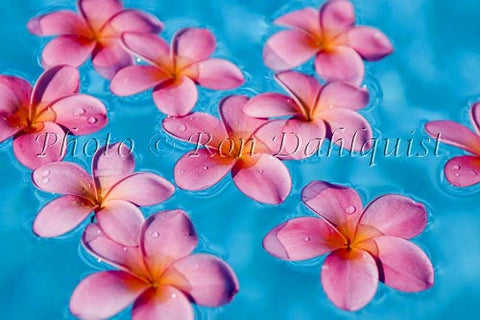 Pink Plumerias floating in turquoise, pool water. Hawaii - Hawaiipictures.com
