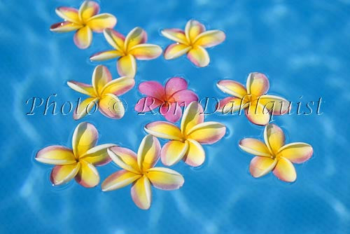Yellow and pink Plumerias floating in turquoise, pool water. Hawaii Picture
