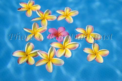Yellow and pink Plumerias floating in turquoise, pool water. Hawaii Picture - Hawaiipictures.com