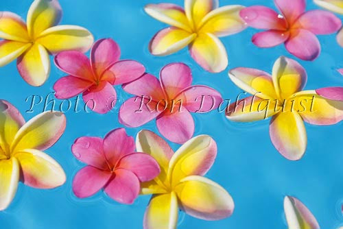 Yellow and pink Plumerias floating in turquoise, pool water. Hawaii - Hawaiipictures.com