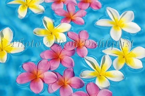 Yellow and pink Plumerias floating in turquoise, pool water. Hawaii Picture Photo