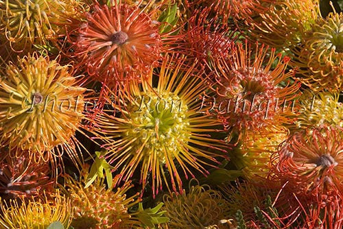 Leucospermum Pin Cushion protea blossoms, located in Kula, Upcountry Maui, Hawaii Picture