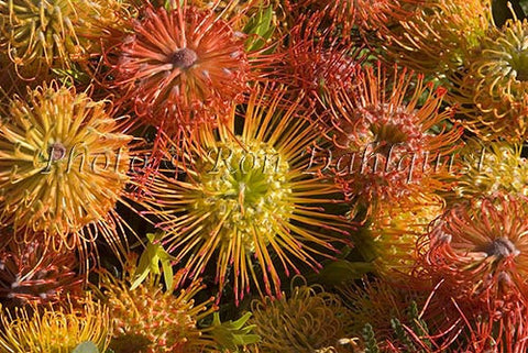 Leucospermum Pin Cushion protea blossoms, located in Kula, Upcountry Maui, Hawaii Picture - Hawaiipictures.com