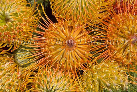 Leucospermum, Pin Cushion Protea blossoms, Kula, located Upcountry Maui, Hawaii Photo - Hawaiipictures.com