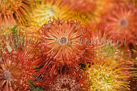 Pin Cushion Leucospermums, Kula, Upcountry Maui, Hawaii - Hawaiipictures.com