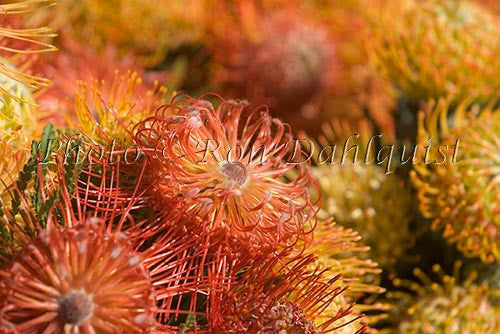 Pin Cushion Leucospermums, Kula, Upcountry Maui, Hawaii Picture - Hawaiipictures.com