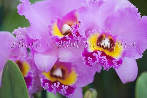 Purple Cattleya orchid, Maui, Hawaii