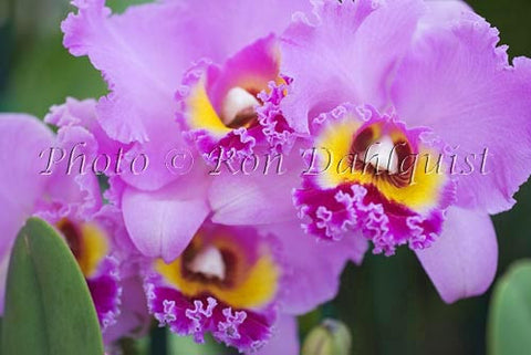 Purple Cattleya orchid, Maui, Hawaii - Hawaiipictures.com