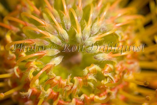 Leucospermum, Pin Cushion Protea blossoms, Kula, located Upcountry Maui, Hawaii Picture Photo - Hawaiipictures.com