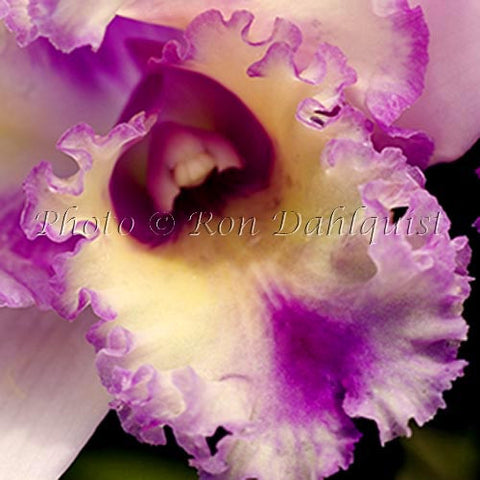 Close-up Cattleya orchid, Blc. 'Hawaiian Deliverance', Maui, Hawaii - Hawaiipictures.com
