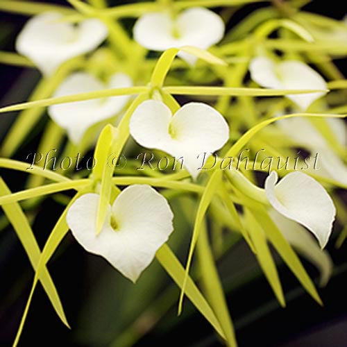 B. 'LIttle Stars' orchid, Maui, Hawaii - Hawaiipictures.com