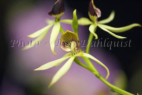 Encylia cochleata orchid, Maui, Hawaii Photo - Hawaiipictures.com