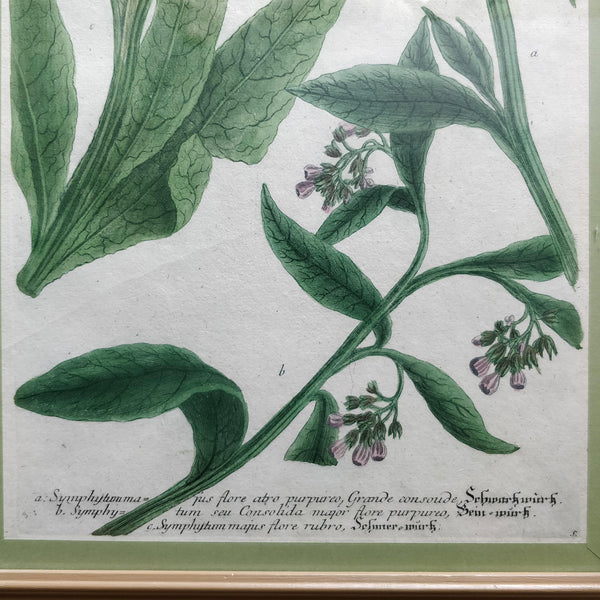 Early 19th Century botanical print
