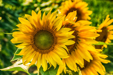 HDR Sunflower Power 5