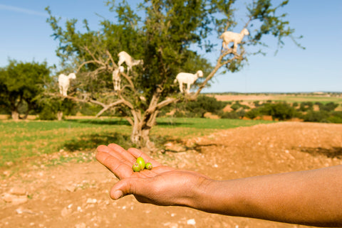 goats in argan trees in morocco