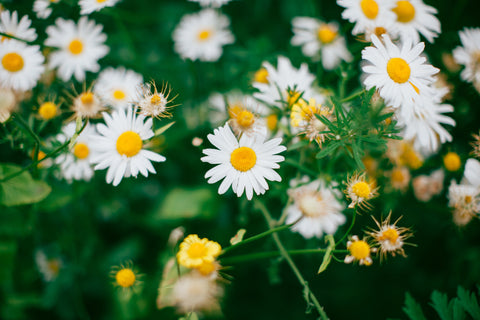 chamomile for skin care