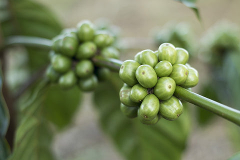green coffee bean for skin care