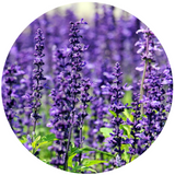 essential lavender oil for skin care