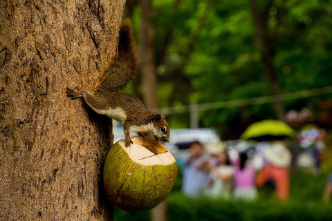 squirrel holding coconut
