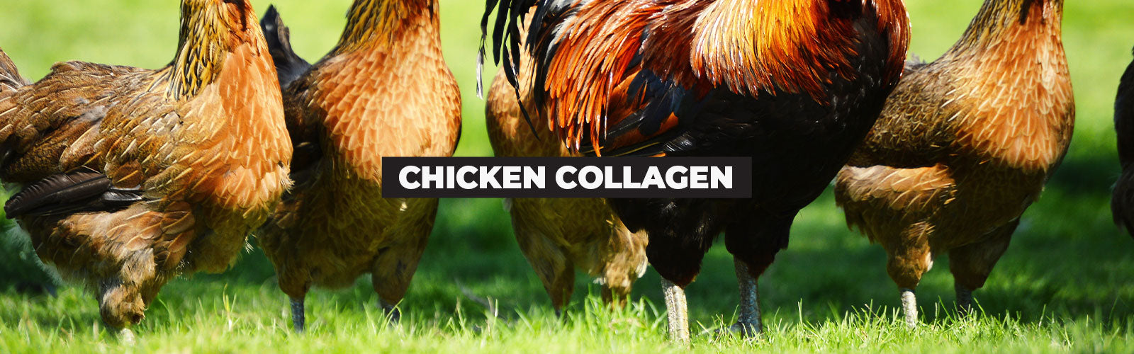 Chicken Collagen: Reinforce Joint Strength with This Valuable Protein