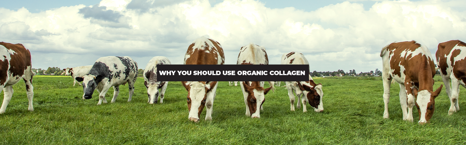 Why Should You Use Organic Collagen Powder?