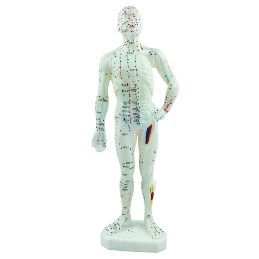Model of Human Body - UPC Medical Supplies, Inc.