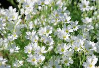 Chickweed Herb, Cut 100g