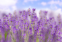Lavender Flowers, Whole