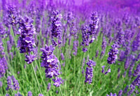 Lavender angustifolia Essential Oil