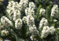 Tea-Tree Essential Oil Australian
