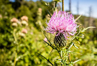Milk Thistle, Cut 100g