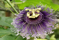 Passion Flower Herb, Cut 100g