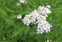 Yarrow Herb, Cut, Organic