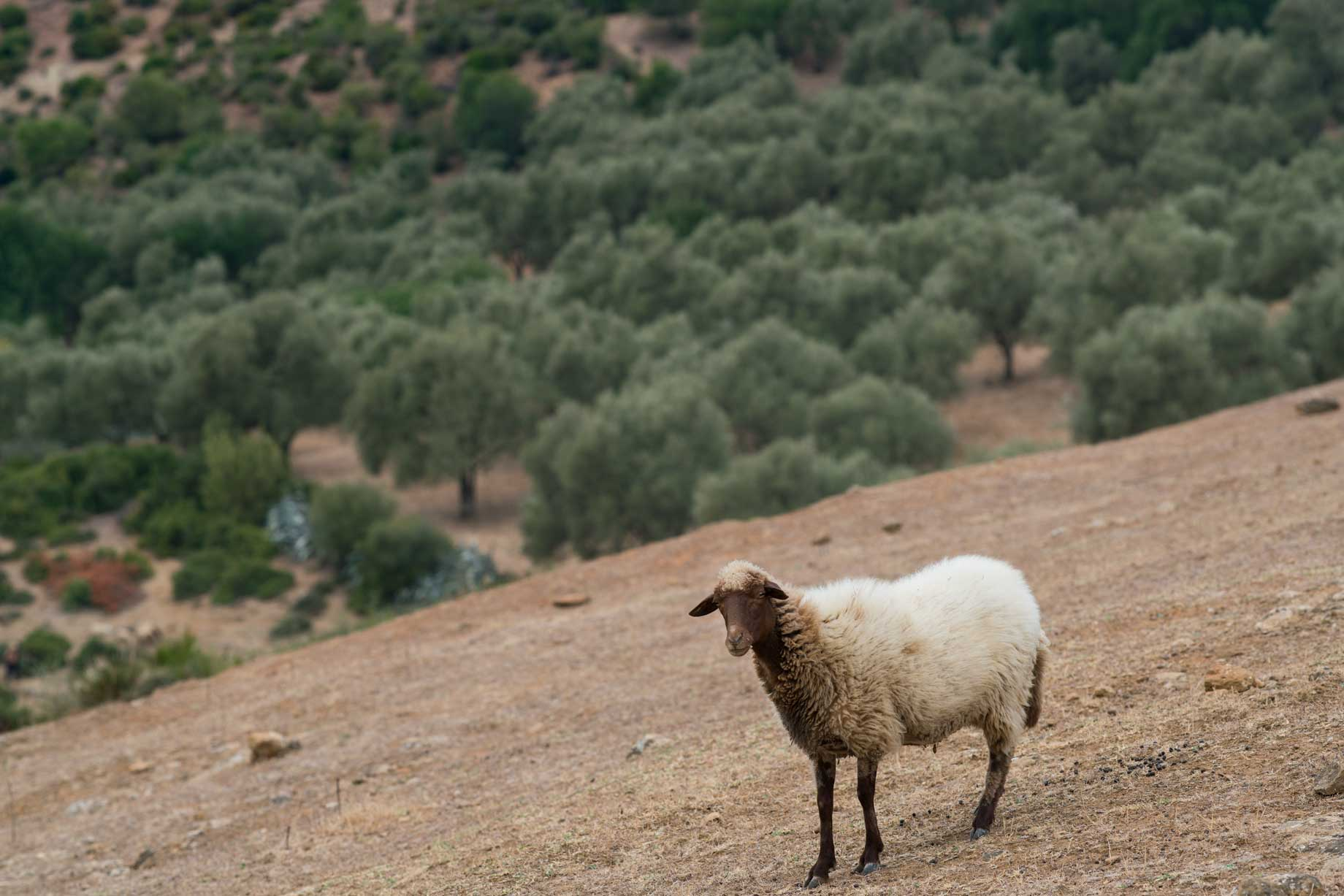 Sheep On A Moroccan Hillside | Stories + Objects Travel Lifestyle Magazine