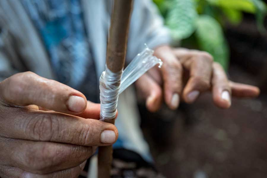 Cacao Plant Propagation In Yucatan, Mexico   Stories + Objects Travel Images