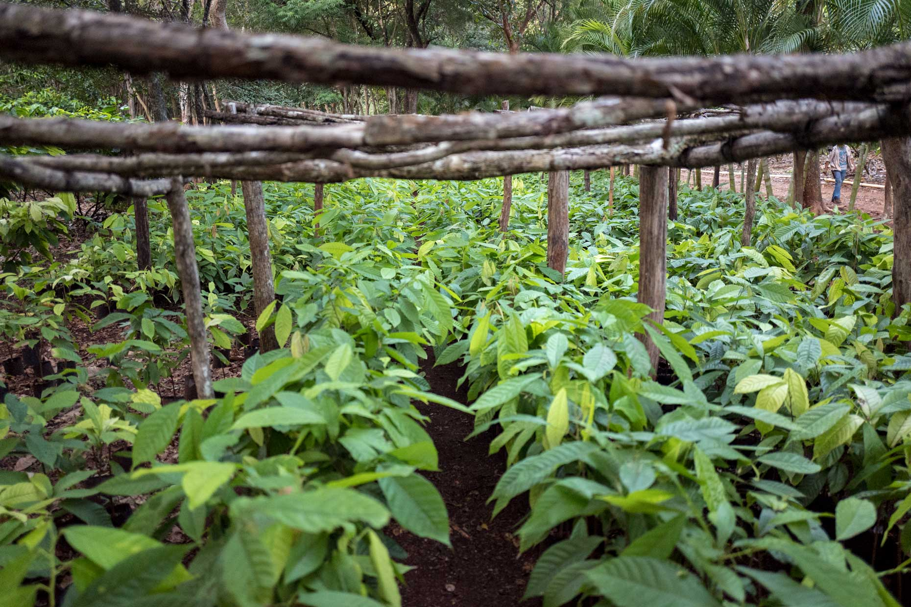 Mayan Cacao Plant Plantation   Stories + Objects Global Traveler Magazine