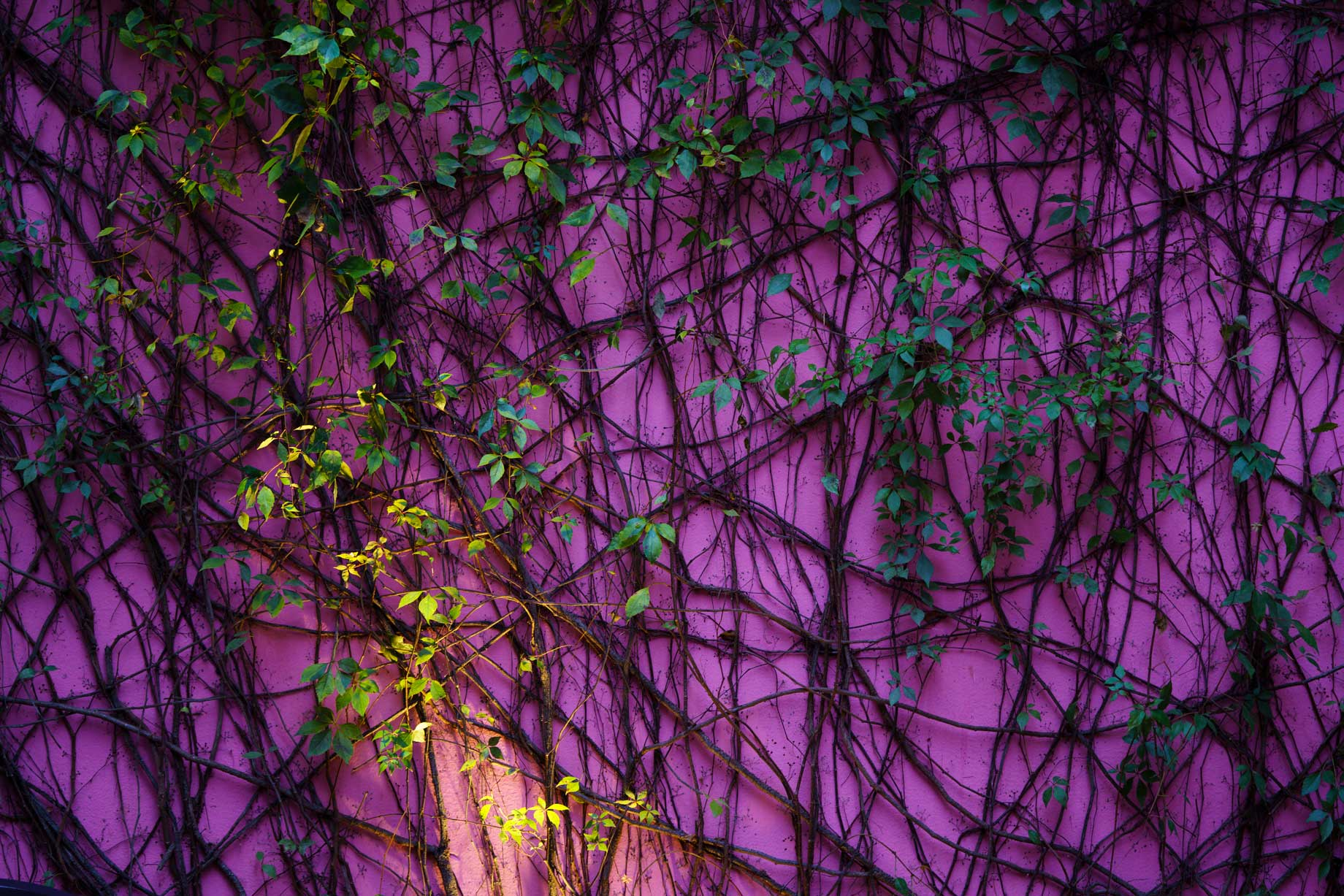 Purple Wall With Green Plant Vines Yucátan, Mexico | Stories + Objects Travel Images