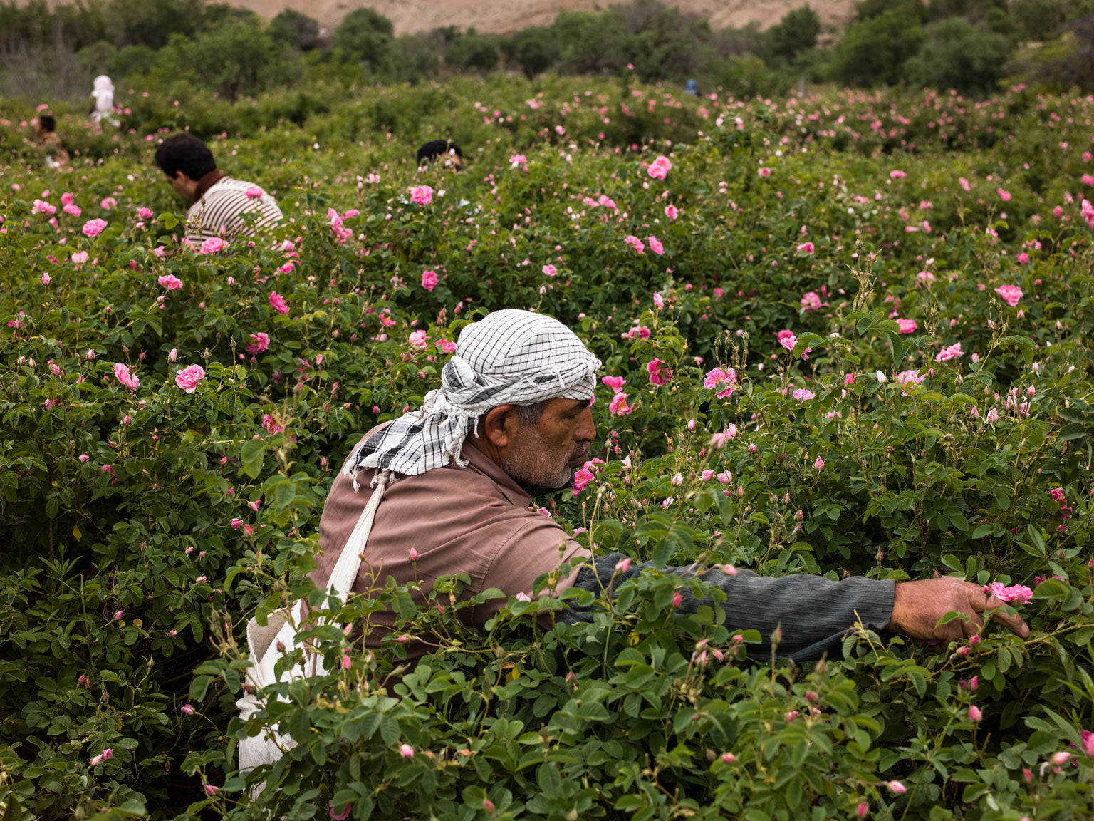 Damask Rose Field Harvesting In Kashan, Iran | Stories + Objects Global Travel Magazine