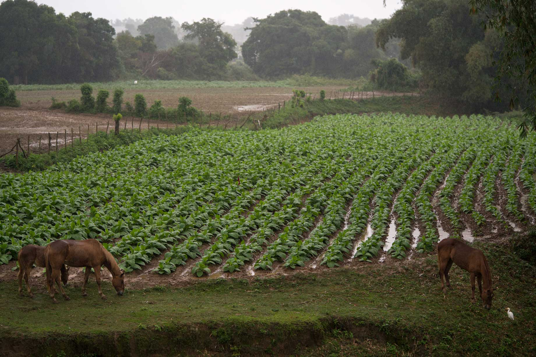 Horses In Tobacco Fields, Cuba | Stories + Objects Lifestyle Magazine