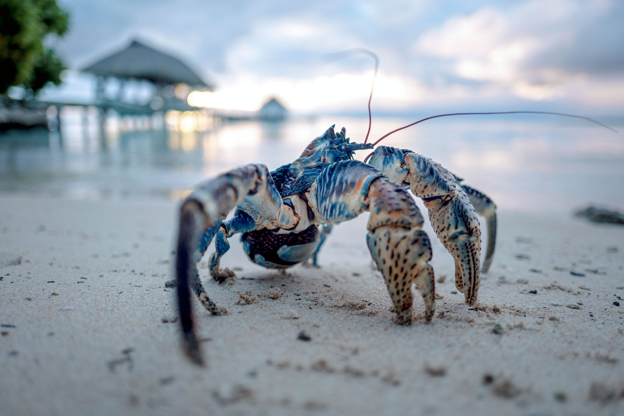 Crab On Fakarava Island Beach Tahiti | Stories + Objects Global Travel Magazine