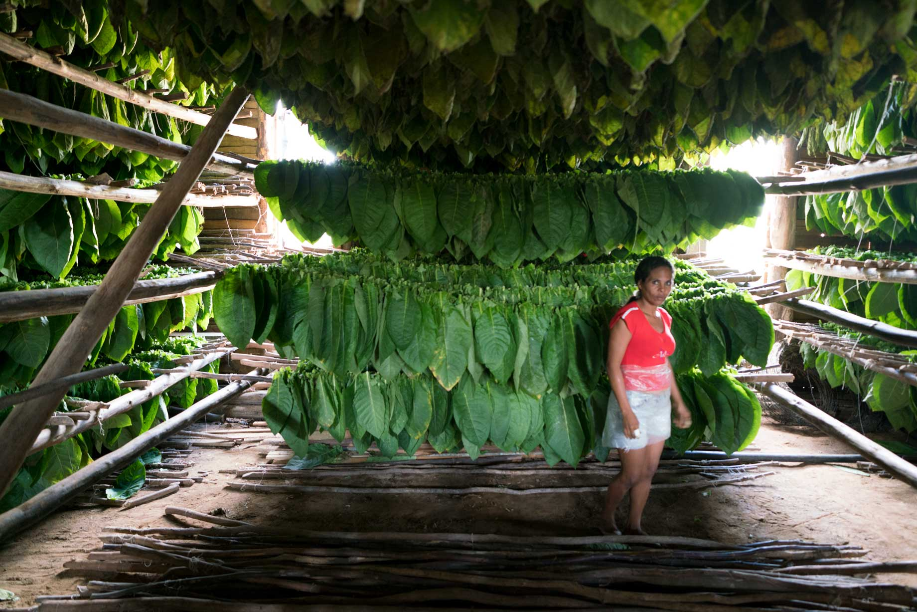 Green Tobacco Leaves Drying | Stories + Objects Luxury Lifestyle Magazine Online