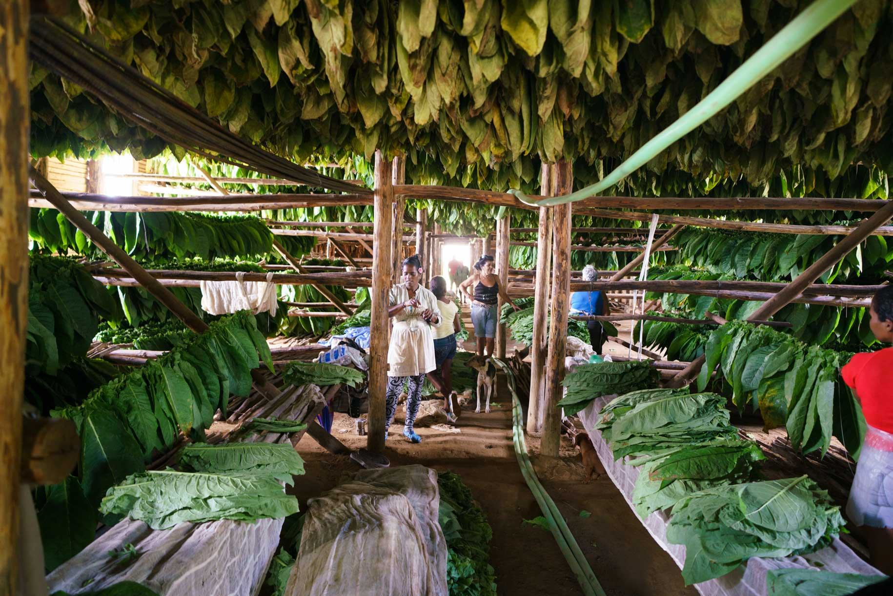 Woman With Tobacco Leaves Drying | Stories + Objects Travel Lifestyle Magazine